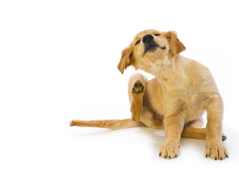 โรคในหูสุนัข ที่คนเลี้ยงต้องระวัง